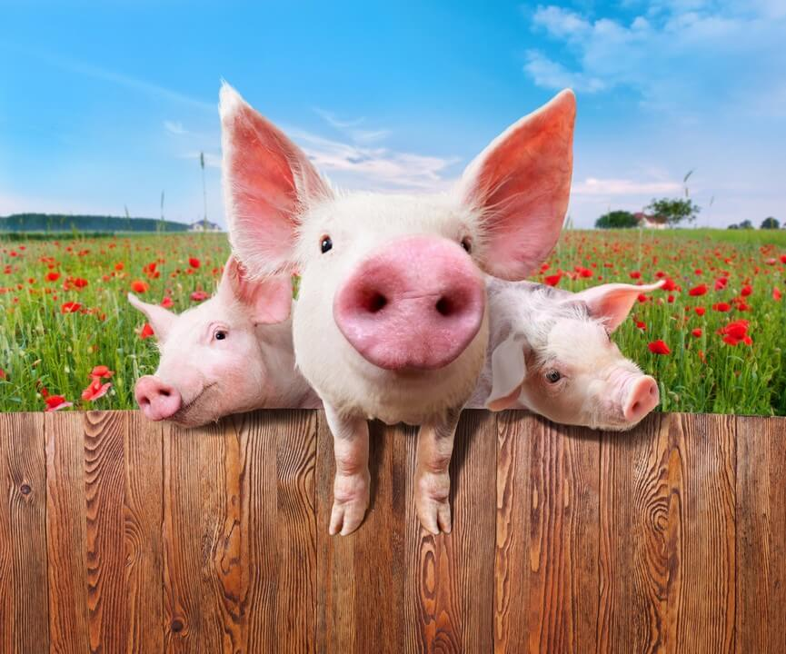 three pigs image for a b2b brand business blog post